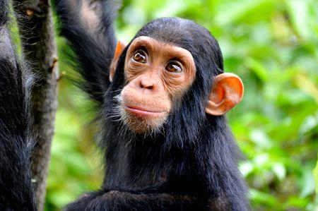 chimpanzeee